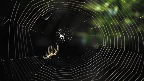 Garden Spider Building A Web Garden Spider Building Web Up Time Lapse Stock