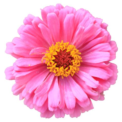 flower no background pink zinnia flower isolated colorful plant without