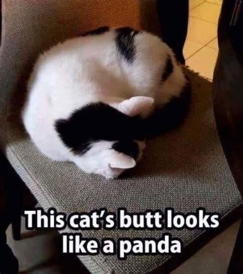 that looks like a panda this cats looks like a panda meme meme collection