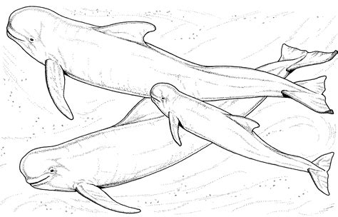 pilot whale coloring page marine animal coloring pages