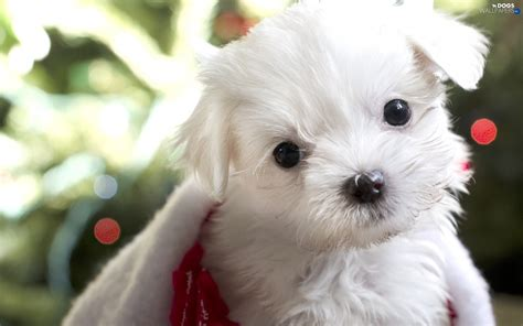 Small White Honeyed Small White Dogs Wallpapers 1920x1200