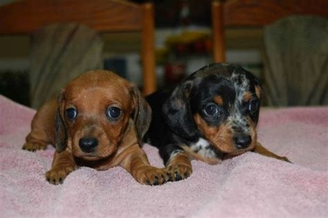 dachshund puppies for sale in tennessee best 25 dachshund puppies for sale ideas on daschund puppies for sale