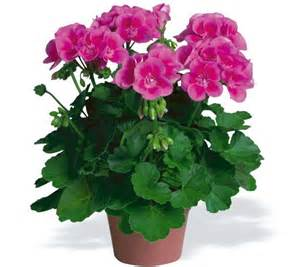 Geranium by How To Take Care Of Geraniums In Winter