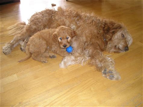 goldendoodle puppies for sale in houston tx goldendoodle photos