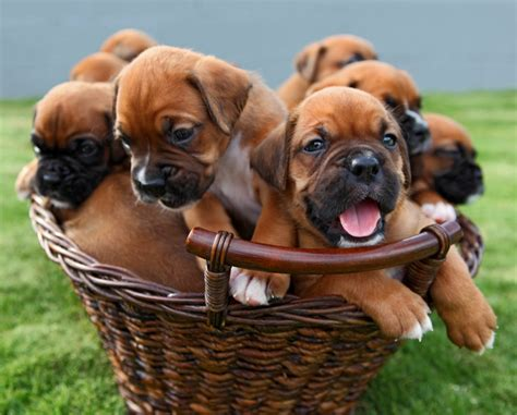 boxer puppies boxer puppies pictures and enjoy pets world