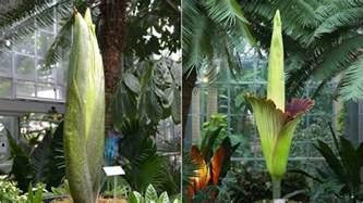 Us Botanic Garden Corpse Flower Hold Your Nose Corpse Flower To Hit Peak Bloom At Us Botanic Garden Nbc4 Washington