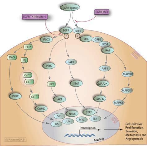 egfr inhibitors compare egfr inhibitors egfr inhibitor pathway pharmacodynamics