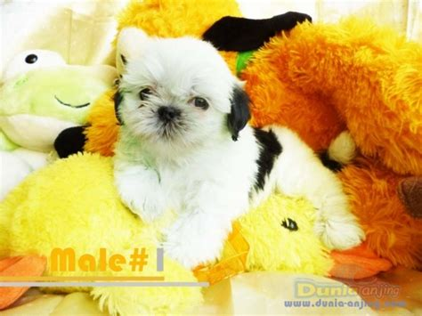 epupz shih tzu chihuahua shih tzu pomeranian stud service for sale philippines breeds picture
