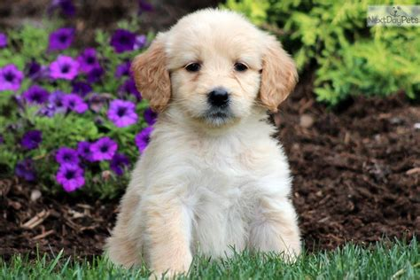 doodle puppy names meet a goldendoodle puppy for sale for 700