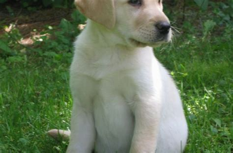 black lab vs golden retriever like dogs golden retriever vs labrador puppy images litle pups