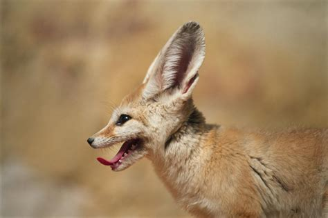 best fox pictures interesting and true facts about fennec foxes