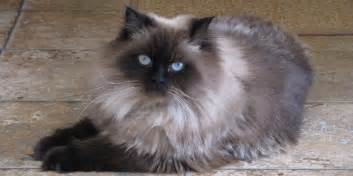 himalayan cat information characteristics facts names