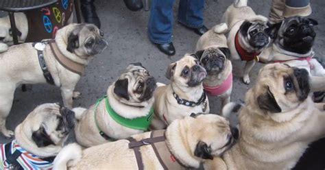 pug rescue delaware una cena de carlinos para recaudar dinero y ayudar a los perros que lo necesitan