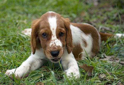 springer spaniel puppies michigan springer spaniel puppies images
