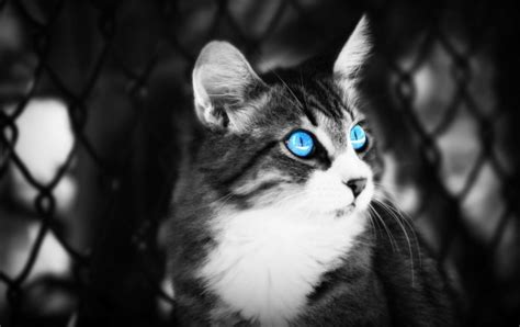 black cat blue eyes wallpapers