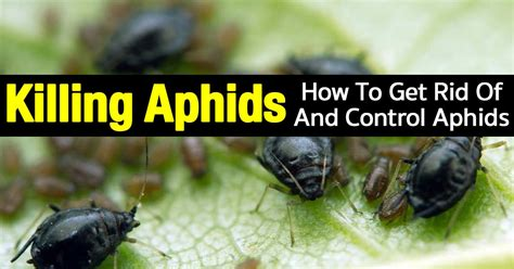 How To Get Rid Of White Mites In Kitchen by Killing Aphids How To Get Rid Of And Aphids