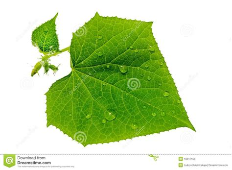imagenes hojas verdes gota de agua en las hojas verdes foto de archivo imagen