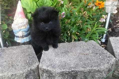 Pomeranian Puppy For Sale Near Chicago Illinois 90c7c4e8 3a61