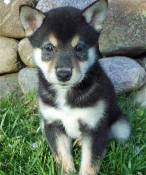 shiba inu puppies wisconsin hatchet the shiba inu puppies daily puppy