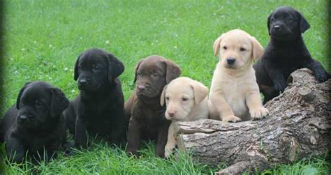 lab puppy cost labrador puppies for sale how much does they cost and why