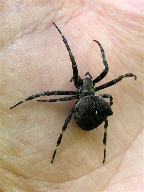 Garden Spider Scientific Name Araneus Angulatus Wikidata