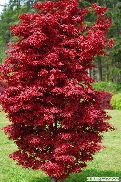 Gartenideen Bilder 4232 by 100 Besten Japanese Maple Fall Color Bilder Auf