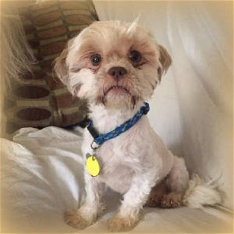 shih tzu for rehoming shih tzu rehoming assistedlivingcares