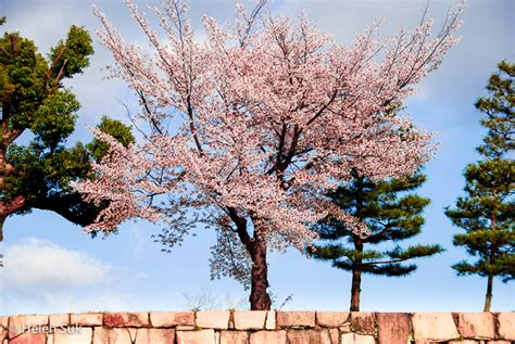 japanese cherry blossom tree the meaning of cherry blossoms in japan life death and