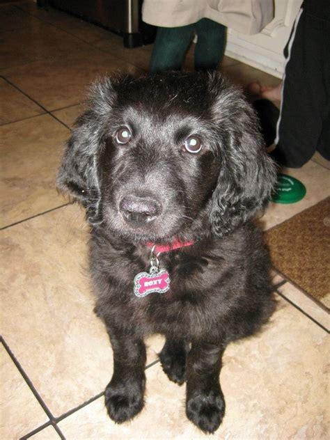 goldendoodle puppy black black goldendoodle puppy