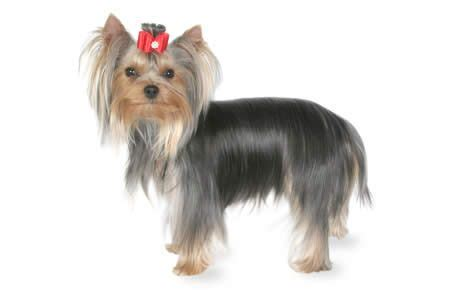 big yorkie breed terrier breed information pictures characteristics facts dogtime