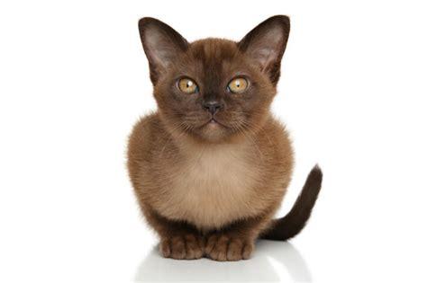 burmese cat   cat