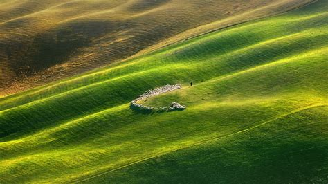 flock  sheep grazing  green field tuscany italy