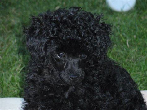 black poodle lifespan black poodle pics dogs in our photo