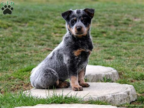 miniature blue heeler puppies for sale in merle australian cattle the universe of animals