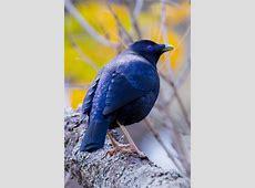 Satin Bowerbird - Calls and Song | Wildlife Sounds by Wild ... Lyrebird Song