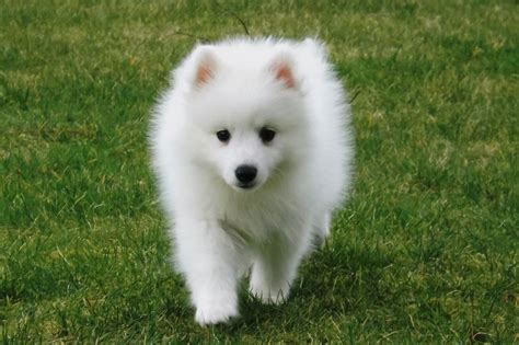 japanese spitz puppies japanese spitz puppies inverurie aberdeenshire pets4homes