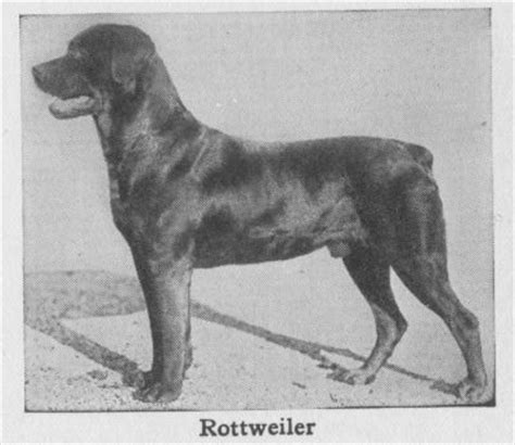 history of a rottweiler the rottweiler a patient family and gentle just don t try anything