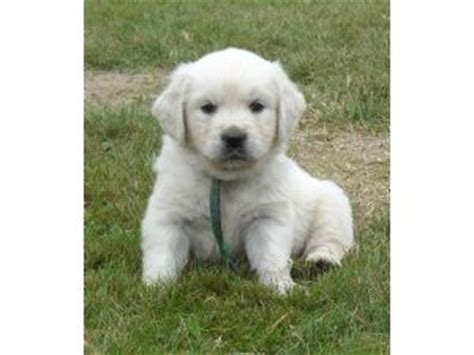 washington state golden retriever breeders golden retriever puppies washington state assistedlivingcares