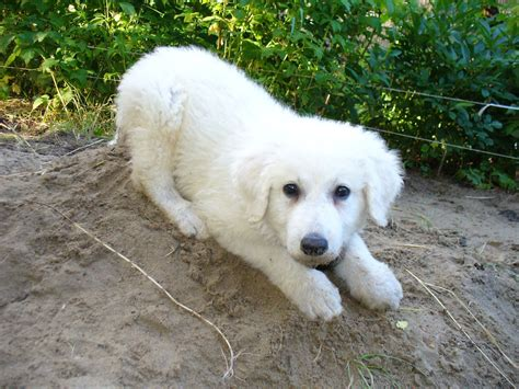 kuvasz puppies lovely kuvasz photo and wallpaper beautiful lovely kuvasz pictures