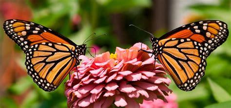 imagenes de mariposas national geographic mariposa caracter 237 sticas tipos qu 233 comen d 243 nde viven