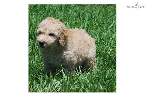 goldendoodle puppy coat shedding goldendoodle puppy for sale near west palm florida