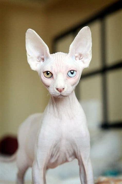 Kaos Sphinx jenis kucing ras yang paling lucu grosir kaos distro