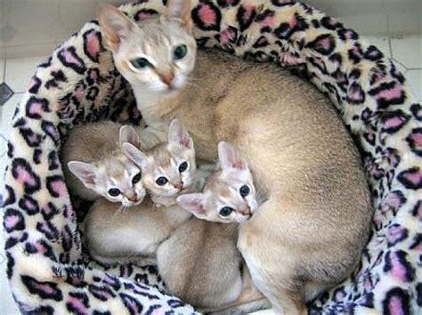 wallpaper of cat family singapura cat breed images singapura cat family