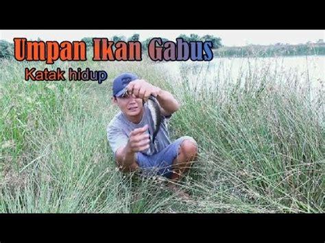 Umpan Katak Mancing umpan mancing ikan gabus pake katak hidup