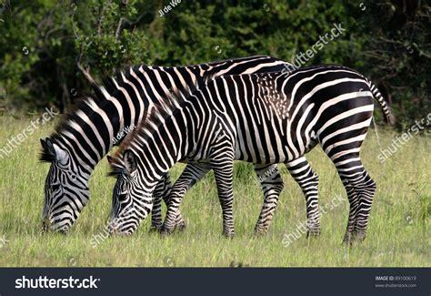 zebra pattern unique two zebra feeding but one with unique patterns stock photo