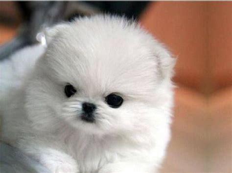 teacup pomsky puppies for sale 113 best images about pomsky puppies for sale on