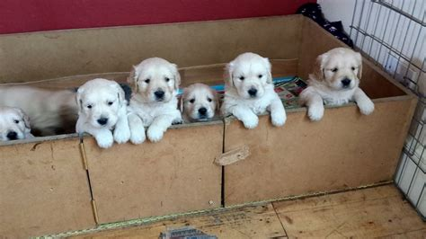 golden retriever puppies perth for sale beautiful golden retriever puppies for sale perth perthshire pets4homes