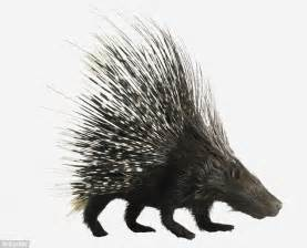 porcupine quills could help scientists develop less painful hypodermic needles daily mail online