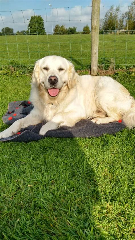 golden retriever stud golden retriever stud newtownabbey county antrim pets4homes