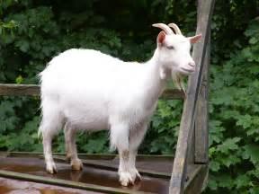 Ca Bra by Goat